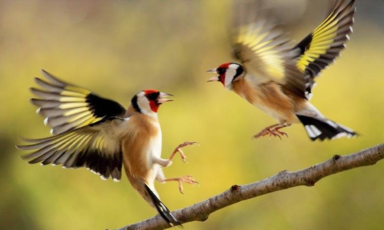 الفقيه بنصالح: إحباط عملية تهريب 720 طائر من نوع الحسون