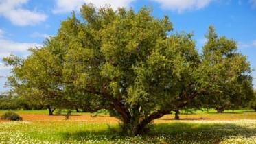 أكادير: المغرب والأمم المتحدة يحتفيان باليوم العالمي الأول لشجرة الأركان