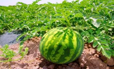 """""""أونسا"""" يحسم الجدل حول البذور المستخدمة في زراعة البطيخ الأحمر بالمغرب ويؤكد أنها غير معدلة جينيا"""