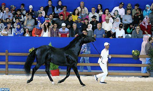 """الحصان """"الرفيع"""" يحرز لقب كأس الأبطال للخيول العربية البربرية"""