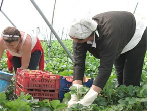 Récolter les fraises pour faire vivre la famille au Maroc
