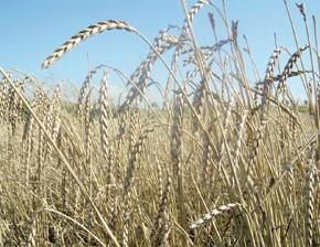 La production céréalière estimée à cinq millions de quintaux