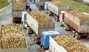Plus de 268.000 tonnes de betterave à sucre