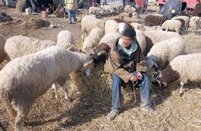 Les moutons, le sacrifice nécessaire