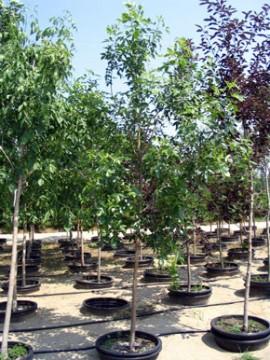 El Jadida aura 101 arbres L'Association