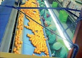 Les exportateurs des agrumes confiants