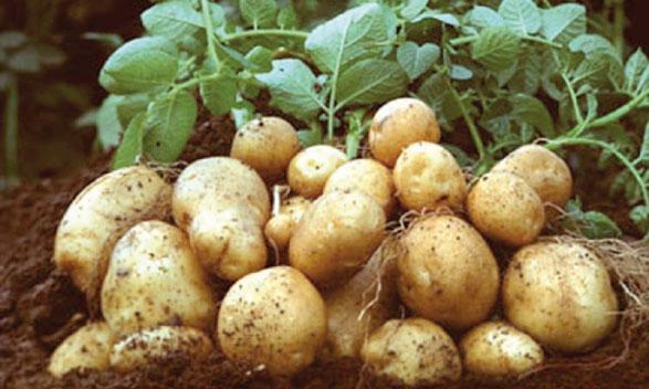 La production de pommes de terre au cours des trois prochaines semaines contribuera à résorber le déficit actuel de l'offre.