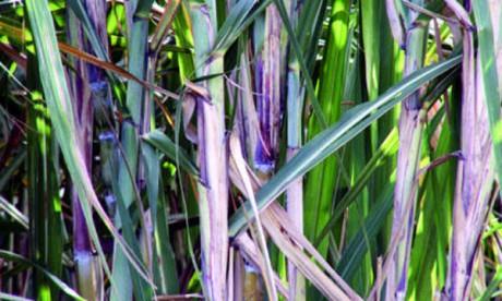 L'État à la rescousse de la filière  de la canne à sucre