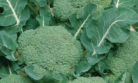 Une TPE marocaine tente l'export  du brocoli