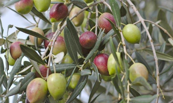 230 mille tonnes d'olive prévues