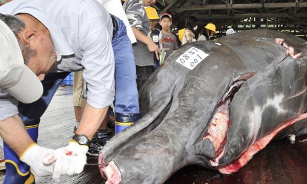 Le Japon, qui prévoit tuer un millier de baleines, peut chasser les animaux à des fins scientifiques en vertu d'une exemption à l'interdit imposé en 1986. Ph : AFP