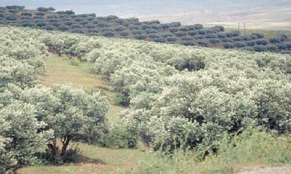 La ville de Meknès poursuit le développement de sa politique oléicole.