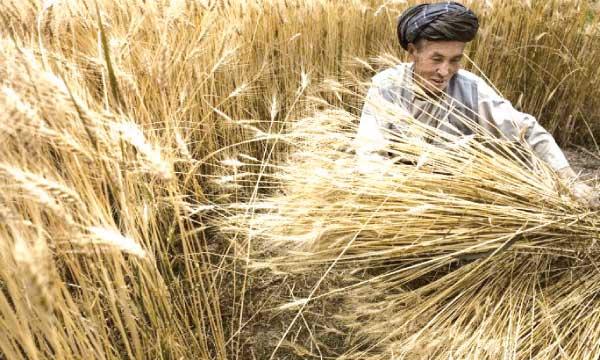 La production céréalière  estimée à 303.500 tonnes
