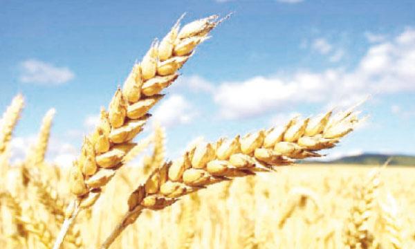 La récolte mondiale a enregistré un record de plus de 700 millions de tonnes en 2014.