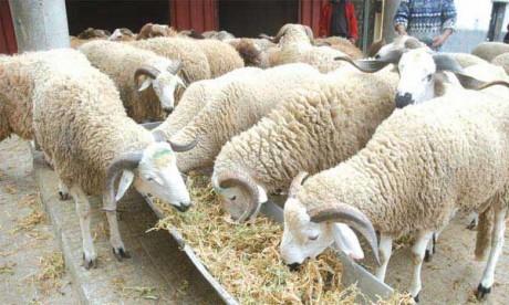 Le mouton sur le marché du net