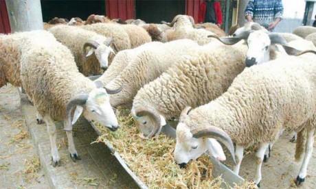 Les moutons s'installent dans les quatre coins de Casablanca