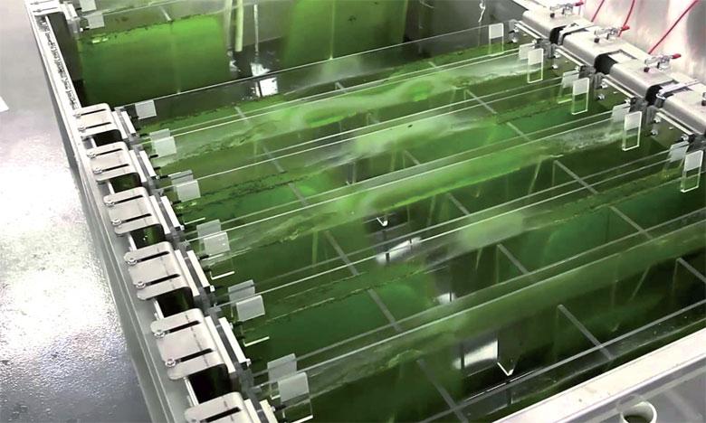 Le projet BIOFAT vise à démontrer que l'éthanol, le biodiesel et les bioproduits peuvent être produits à large échelle à partir d'algues.         Ph. DR