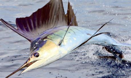 Appel à la protection de l'espadon  et du requin bleu