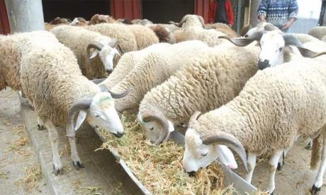 L'offre en cheptels ovin et caprin, destinés à l'abattage,  s'élève à près de 8,6 millions de têtes
