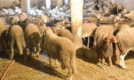 Le prix du mouton plus élevé à cause des changements climatiques