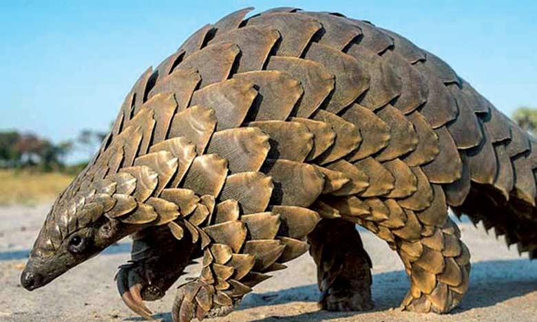 Le pangolin est le mammifère le plus menacé par le braconnage.