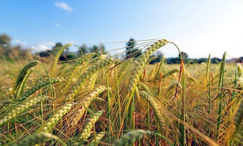 En comparaison avec la campagne précédente, la superficie réservée aux cultures fourragères a doublé en atteignant 4.470 hectares cette saison. Ph : DR