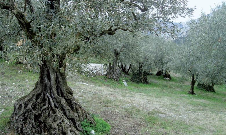 La région, première réserve en matière d'arboriculture oléicole