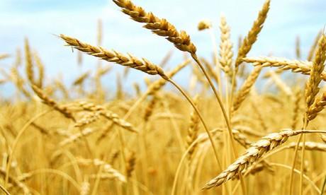 En 2017, la production mondiale de céréales devrait atteindre les 2,6 milliards de tonnes, soit  9 millions de tonnes de moins que le record enregistré en 2016.