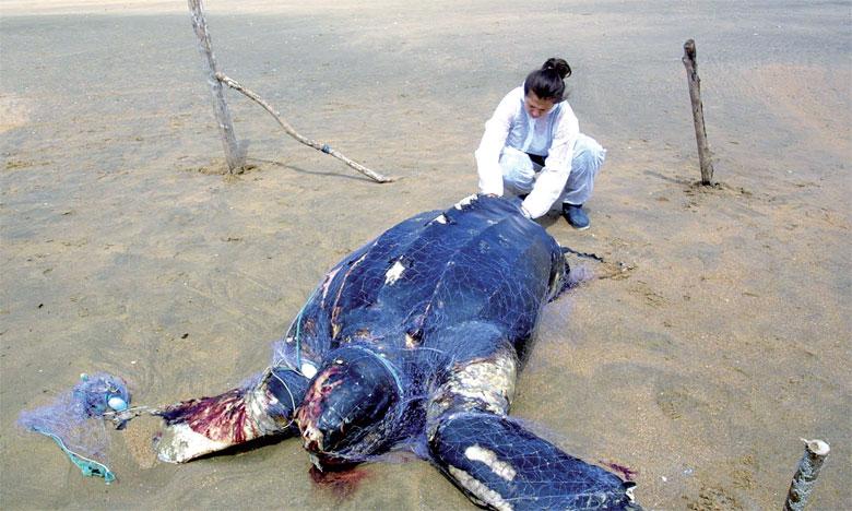 Des traces de médicaments et d'herbicides dans le sang des tortues