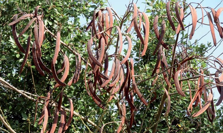 Le caroubier est cultivé pour divers usages. Ses fruits, comestibles et sucrés, sont fortement utilisés dans l'industrie agro-alimentaire et pharmaceutique.