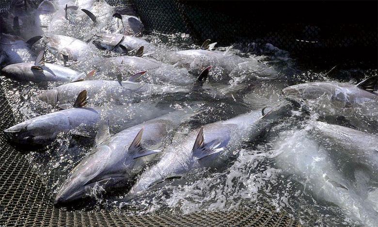 Après avoir failli disparaître, le thon rouge de Méditerranée a repeuplé la mer en raison des quotas imposés. Ph. AFP