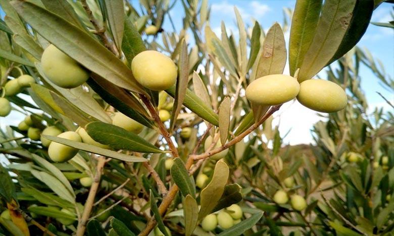 Les oliviers représentent 55% de la superficie globale