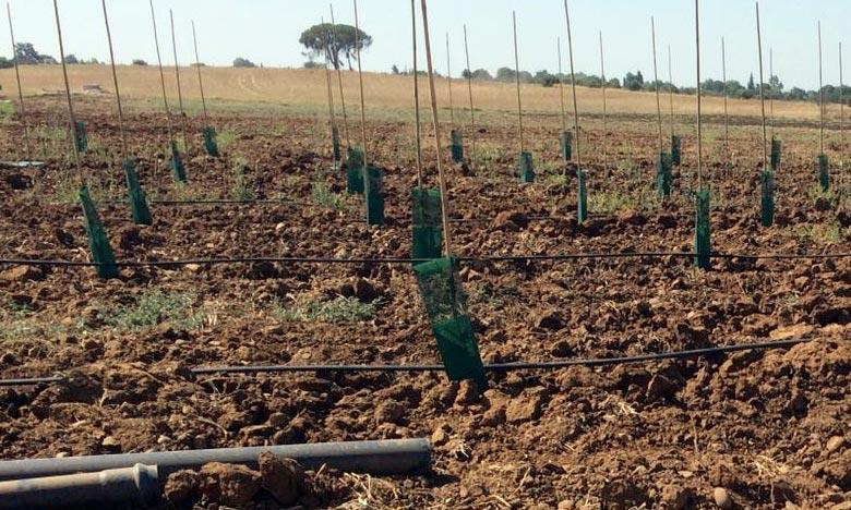 Lancement d'un projet de plantation de 300 ha d'oliviers