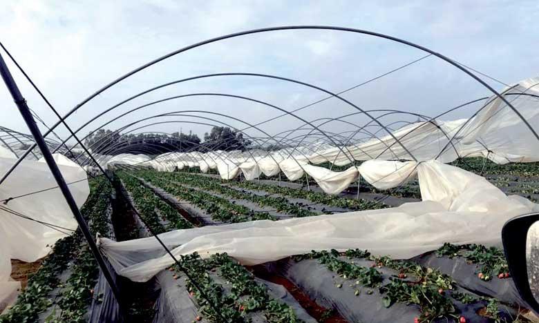 Intempéries: les producteurs  de fruits rouges craignent le pire