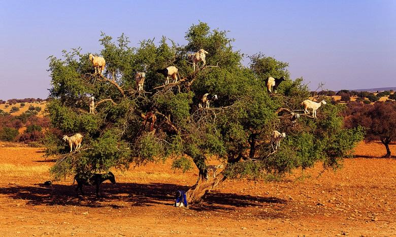 Lancement d'un projet de plantation de 10.000 ha d'arganier