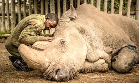 Sudan, le dernier mâle rhinocéros blanc du Nord, est mort cette semaine à l'âge de 45 ans dans un zoo au Kenya. Ph. AFP