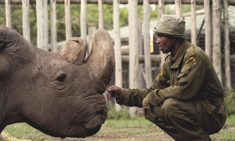 Sudan, le dernier mâle rhinocéros blanc du Nord, est mort