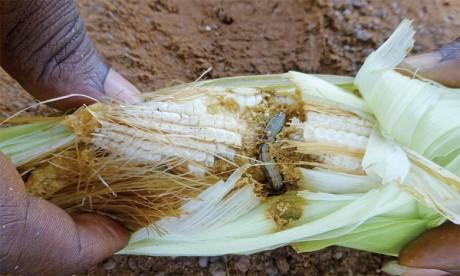 Pendant son stade larvaire, l'insecte provoque des dégâts aux cultures et peut se nourrir de plus de 80 espèces de plantes.Ph. AFP
