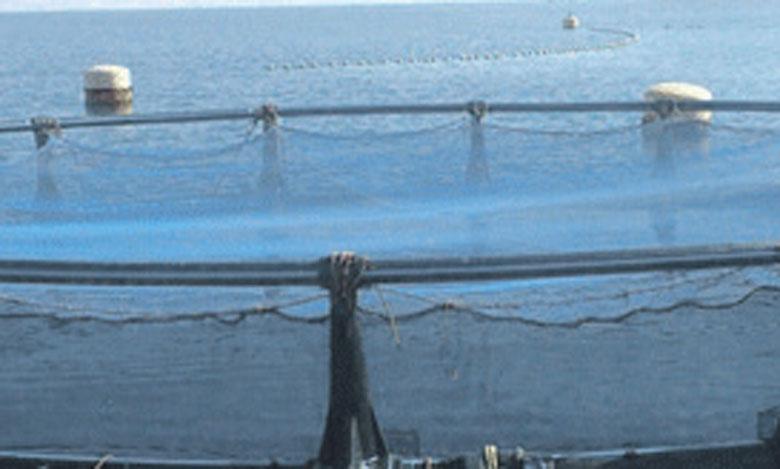 Deux espèces constituent la quasi-totalité de la production aquacole marine marocaine: les huîtres (72%) et le Loup-Bar (26%).