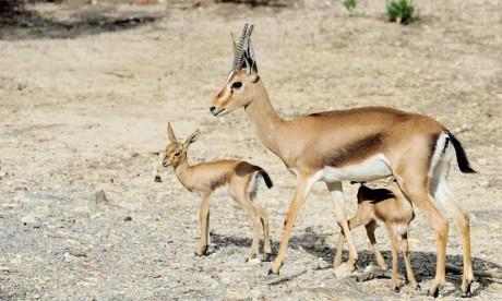 La gazelle de Cuvier, espèce endémique de l'Afrique du Nord, est menacée par  le braconnage et la destruction de son habitat naturel.  Ph. DR