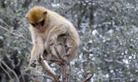 Le singe magot est considéré comme une espèce menacée d'extinction. Ph. DR