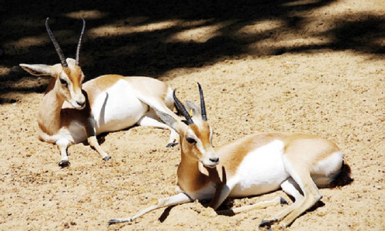 64 gazelles dorcas et de 43 mouflons manchettes transférés