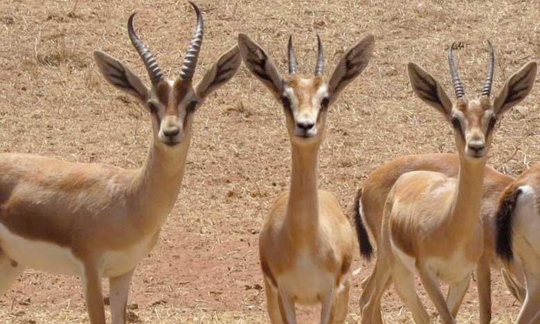 Transfert de mouflons et de gazelles depuis Marrakech vers différents parcs