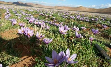 L'impact économique du safran de Taliouine vu par l'ONU