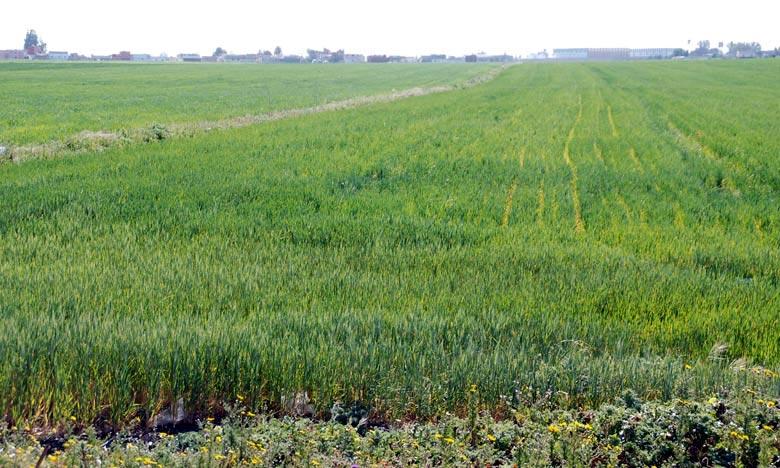 Les dernières pluies ont eu un impact très positif sur le déroulement de la campagne agricole. Les cultures annuelles en place continuent leur cycle de développement très favorablement, avec des champs propres, tant sur le plan phytosanitaire que sur le plan des mauvaises herbes. Ph : DR