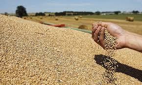 900 tonnes du blé dur impropres à la consommation saisis
