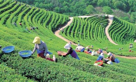 Le thé a besoin de beaucoup de soleil et d'importantes précipitations comprises entre 1.000 et 1.700 millimètres par an.  De plus, la pluie doit être régulièrement répartie tout au long de l'année.  Ph. DR