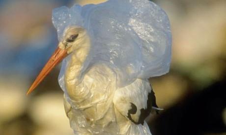 Les oiseaux de mer choisissent leur nourriture grâce à leur odorat. Le plastique peut être pris pour de la nourriture à cause des algues et des bactéries qui le colonisent et émettent une forte odeur de soufre. Les oiseaux associent cette odeur à de la nourriture et tombent alors dans des pièges olfactifs. Ph. WWF