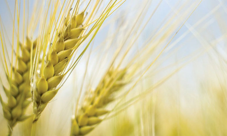 Selon la FAO, les échanges mondiaux de blé en 2018-2019 devraient atteindre 175 millions de tonnes, soit un niveau inchangé par rapport au volume estimé pour 2017-2018.