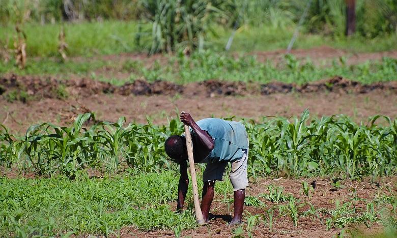 Les petits exploitants agricoles, qui représentent presque la totalité des dix millions de cultivateurs de maïs en Afrique subsaharienne, sont les plus affectés par la chenille légionnaire d'automne.